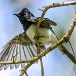 Leaden Flycatcher (Myiagra rubecula)